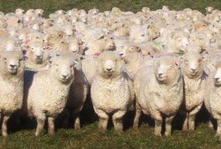 Herd-of-sheep