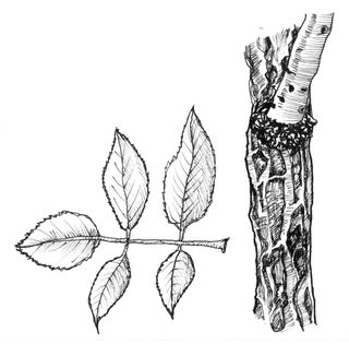 Whistle-Elder-trunk-and-leaves